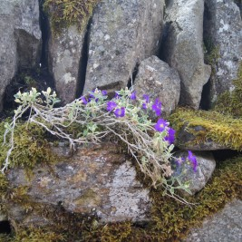 Surge da Pedra