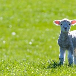 lamb cordeiro