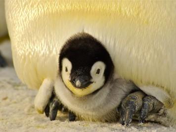 penguin jovem